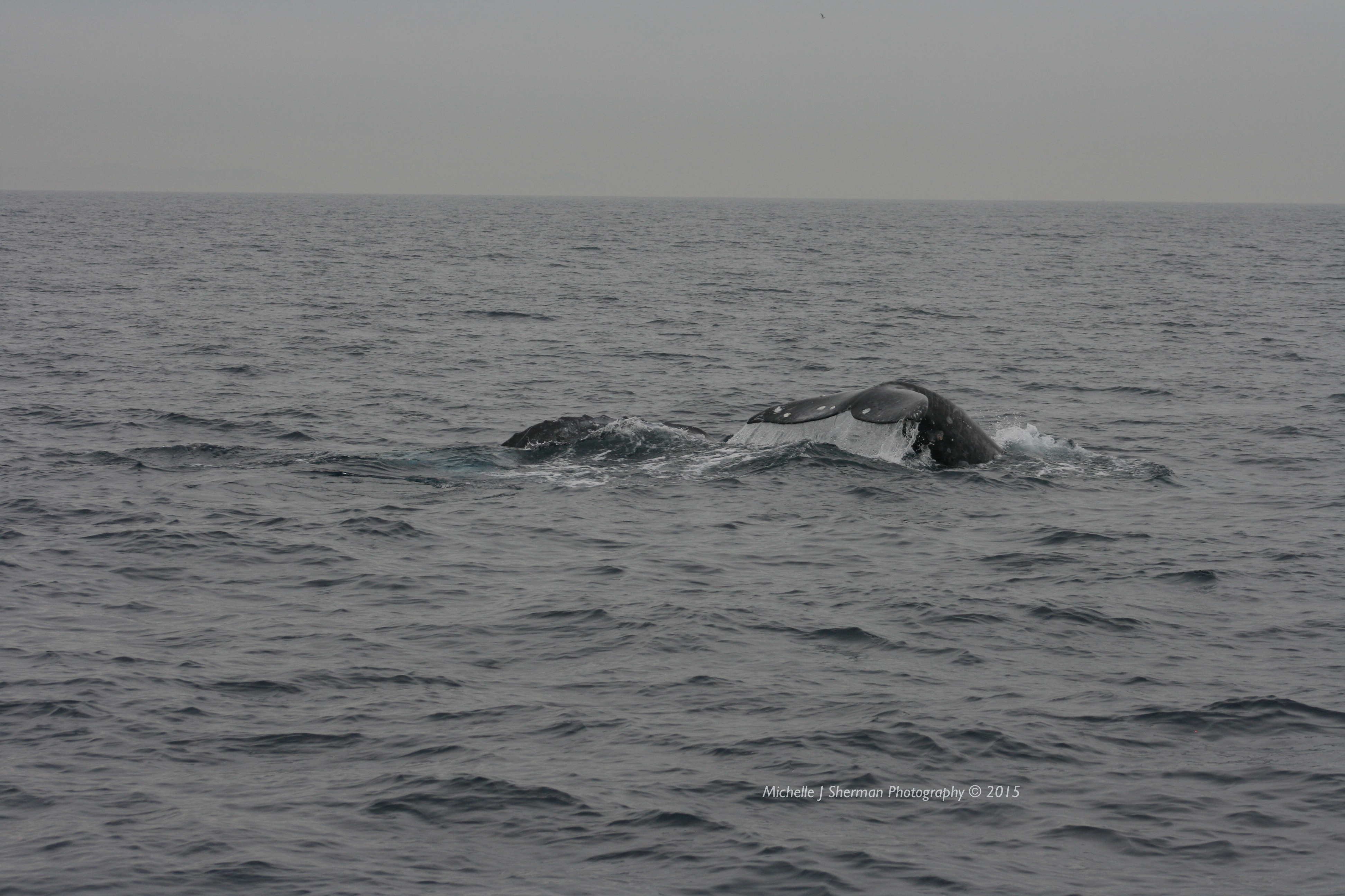 """Mich's Monday Mantra """"Gray Whale Playtime"""""""
